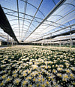 Interior of a geothermally heated greenhouse growing flowers